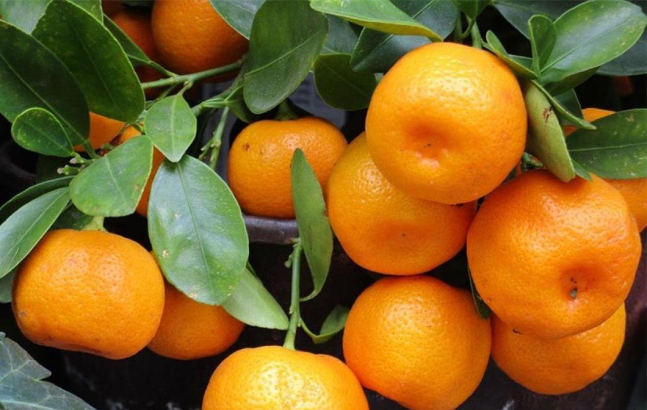 Prodaja neretvanskih mandarina 19. i 20.10. (petak i subota) kod košarkaškog igrališta kao pomoć inicijativi domaćih OPG-ova